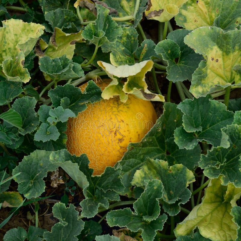 De het groeien meloen op het gebied stock foto's