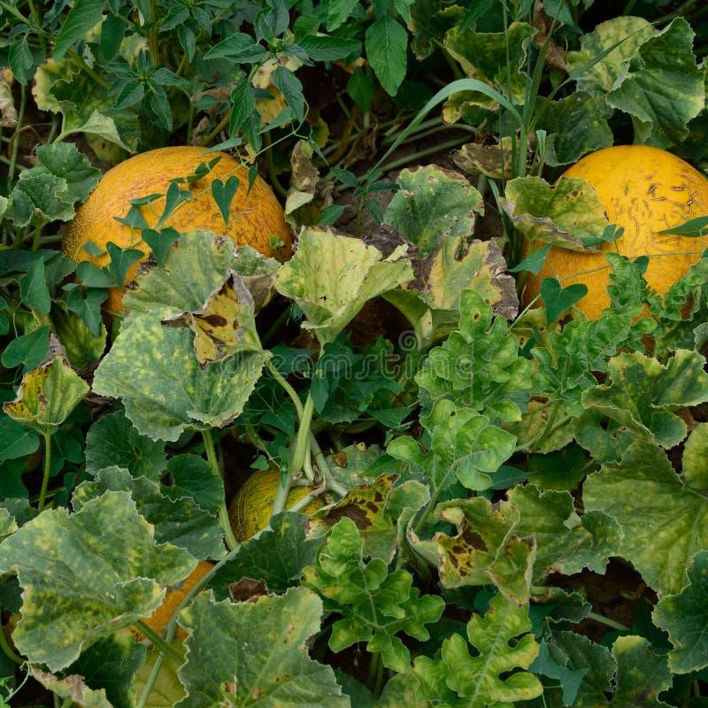 De het groeien meloen op het gebied stock foto
