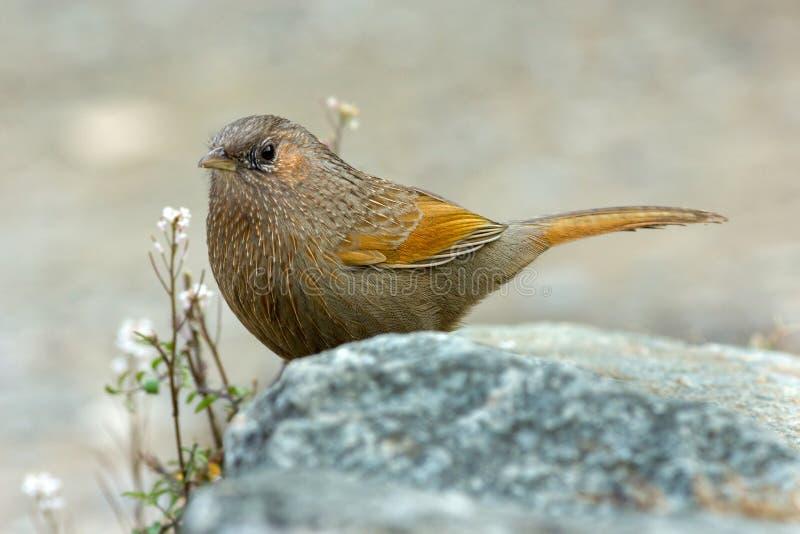 De het lachen Vogel!! Weggeschoten laughingthrush (Trochalopteron-lineatum) stock fotografie