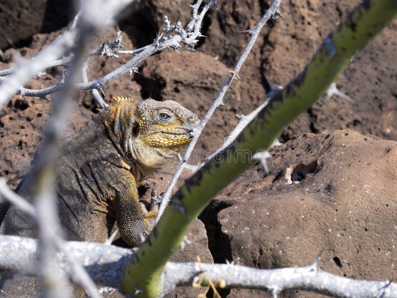 De het Landleguaan van de Galapagos, Conolophus-subcristatus, is verborgen in lavastenen, Baltra-Eiland, de Galapagos stock afbeelding