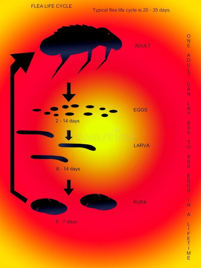 De het levenscyclus van een vlo. royalty-vrije illustratie