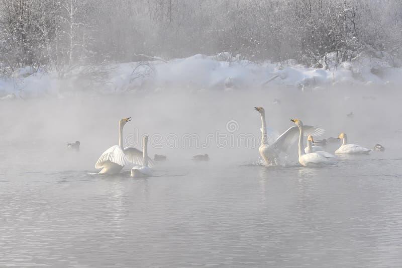 De het meer nevelige winter van de zwanenruzie (Cygnus Cygnus) stock fotografie