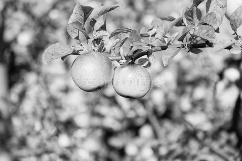 De het organische landbouwbedrijf of tuin van appelgewassen De herfst appeloogstseizoen Rijk oogstconcept Appelen gele rijpe vruc royalty-vrije stock foto