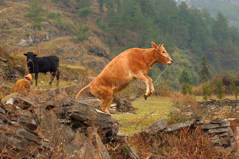 De het slaan koe royalty-vrije stock foto's