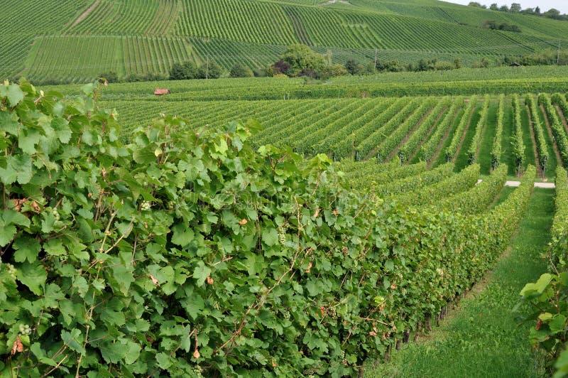 De heuvelige wijngaard #1, baden stock afbeelding