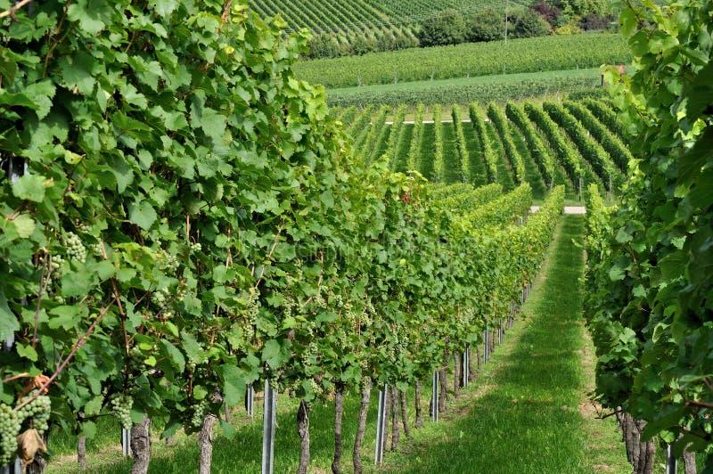 De heuvelige wijngaard #5, baden royalty-vrije stock afbeeldingen