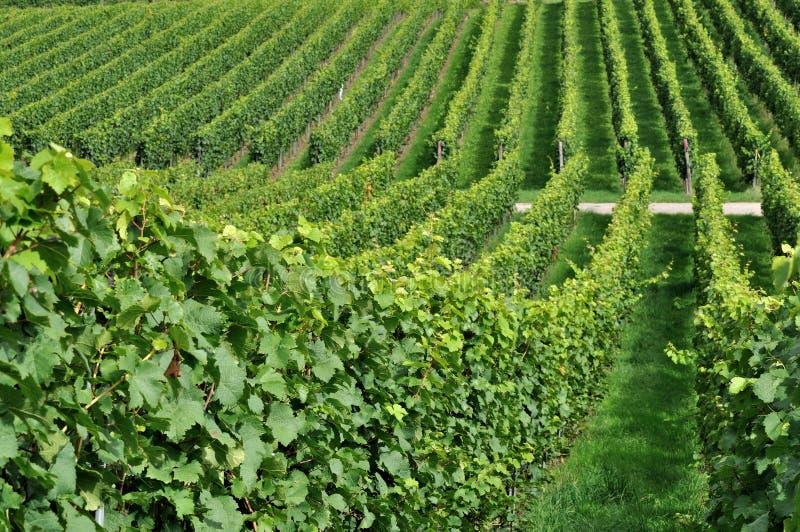 De heuvelige wijngaard #7, baden royalty-vrije stock afbeeldingen