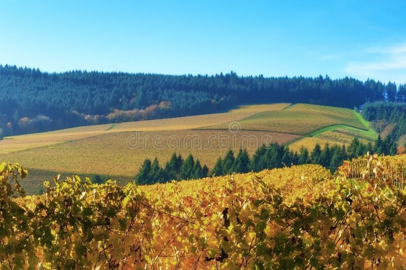 De Heuvelswijngaarden van Dundee in Oregon stock fotografie