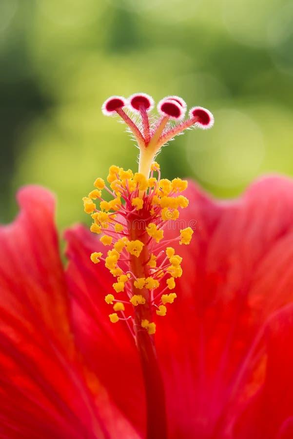 De hibiscus bloeit het rode macro enige tropische centrum van de meeldraadstamper stock foto