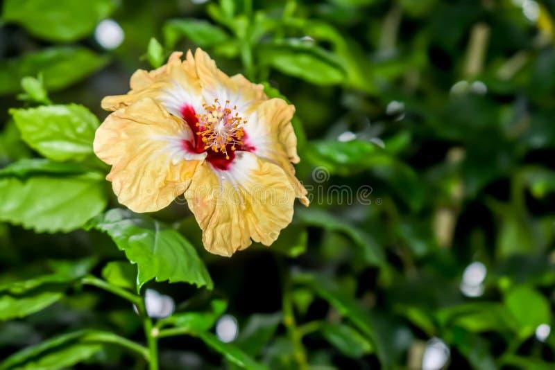 De hibiscus Chinees nam toe royalty-vrije stock afbeelding