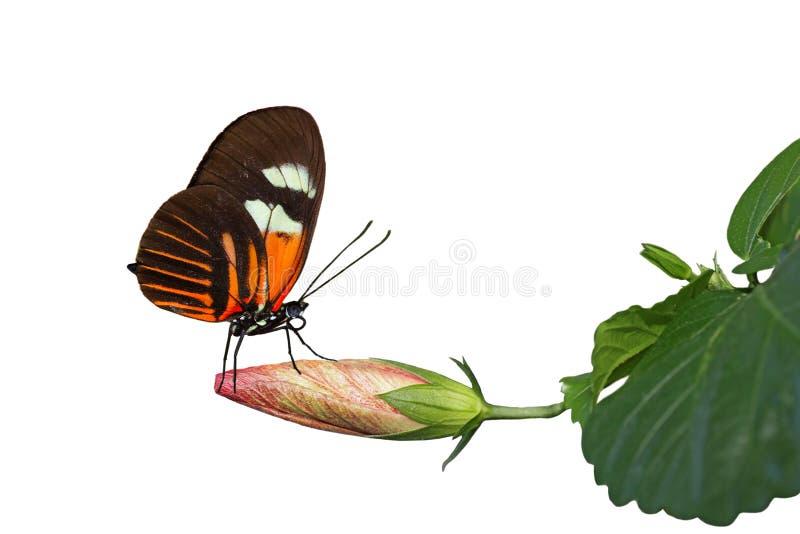 De Hibiscus van de vlinder stock foto's