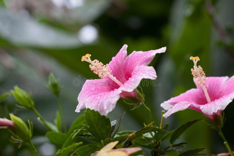 De Hibiscusbloem royalty-vrije stock afbeeldingen