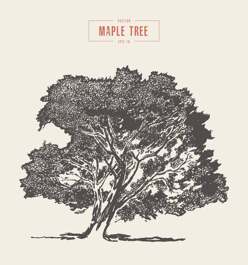 De hoge boom van de detail uitstekende esdoorn, getrokken hand, vector royalty-vrije illustratie