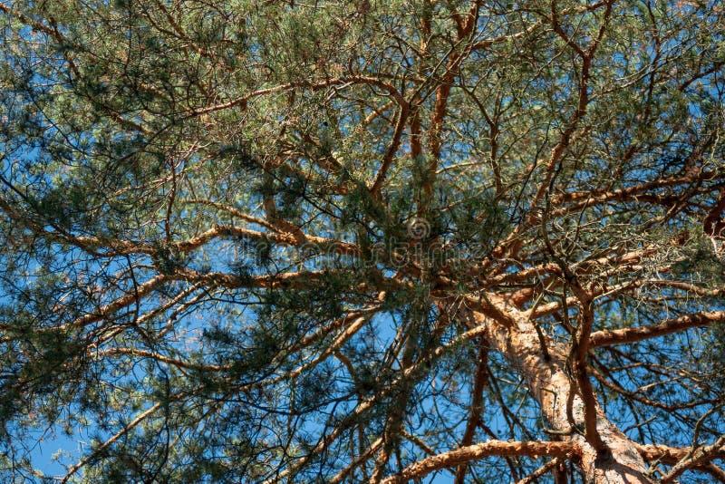 De hoge boom van de naaldpijnboom stock foto