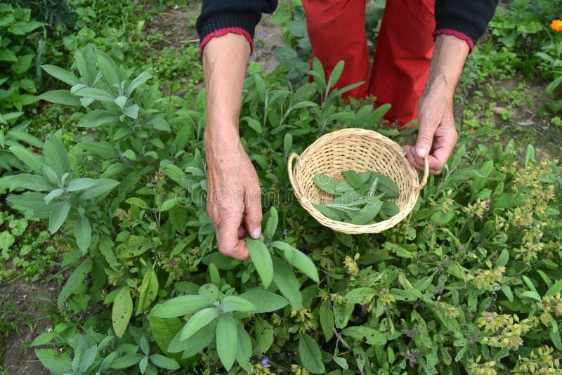 De hogere handen die van de vrouwentuinman in mand verse wijze Salvia plukken royalty-vrije stock foto's