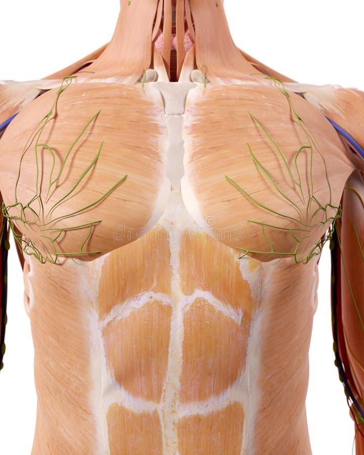 De hogere lichaamsanatomie stock illustratie