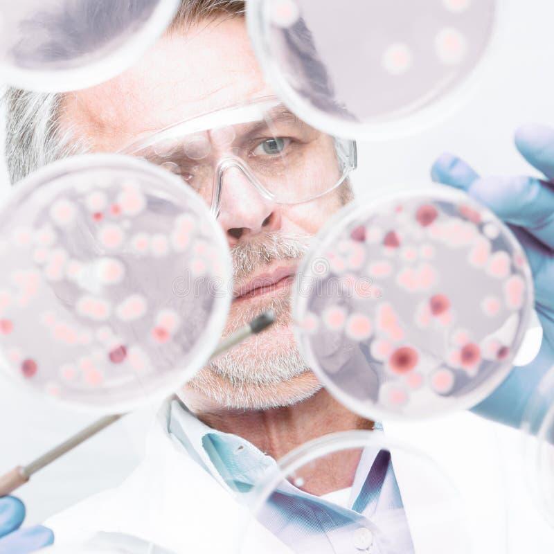 De hogere onderzoeker die van de het levenswetenschap bacteriën enten royalty-vrije stock foto's