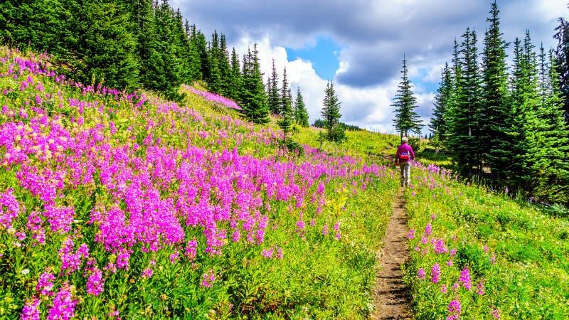 De hogere vrouw op een wandelingssleep in alpiene weiden die in roze Wilgeroosje worden behandeld bloeit royalty-vrije stock foto's