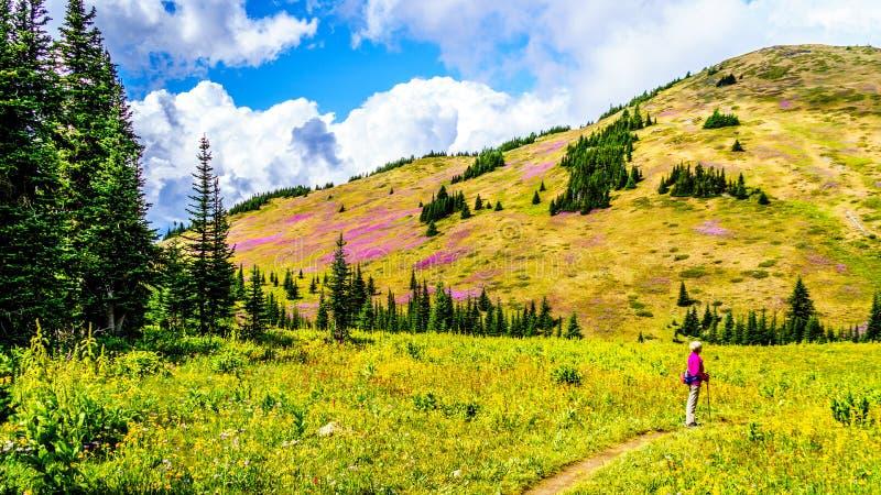 De hogere vrouw op een wandelingssleep in alpiene weiden die in roze Wilgeroosje worden behandeld bloeit royalty-vrije stock foto
