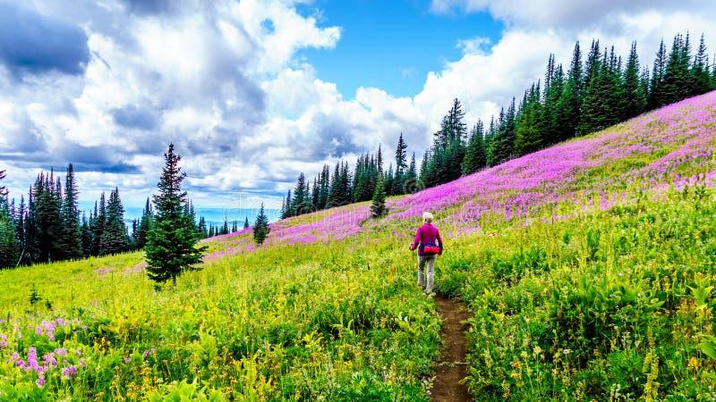De hogere vrouw op een wandelingssleep in alpiene weiden die in roze Wilgeroosje worden behandeld bloeit stock foto