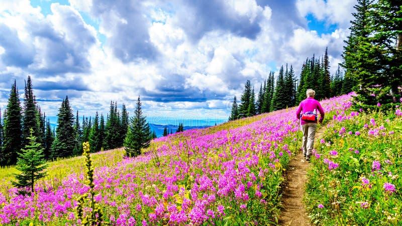 De hogere vrouw op een wandelingssleep in alpiene weiden die in roze Wilgeroosje worden behandeld bloeit stock fotografie