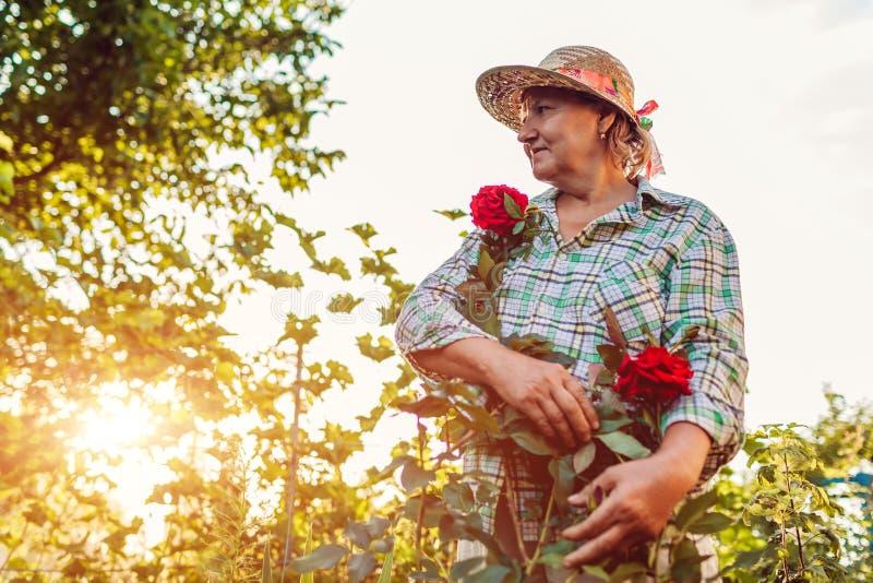 De hogere vrouw is trots van haar rozen in tuin Bejaarde teruggetrokken vrouw die van hobby genieten stock foto