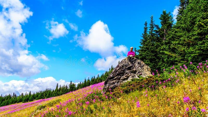 De hogere vrouwenzitting op een grote rots in hoge alpien omringd door roze Wilgeroosje bloeit royalty-vrije stock afbeeldingen
