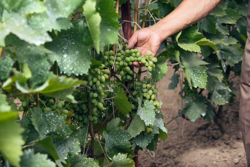 De holdingsdruif die van de mensenhand in wijngaard neigen stock foto