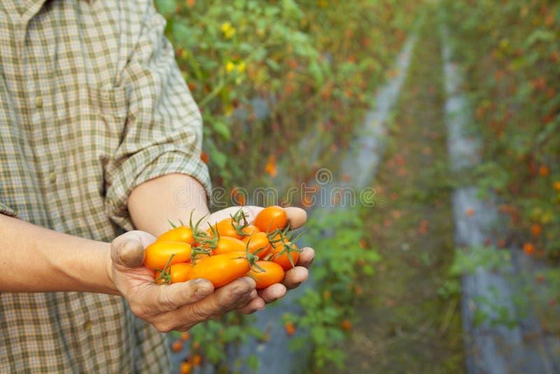 De holdingstomaat van de landbouwer stock foto's