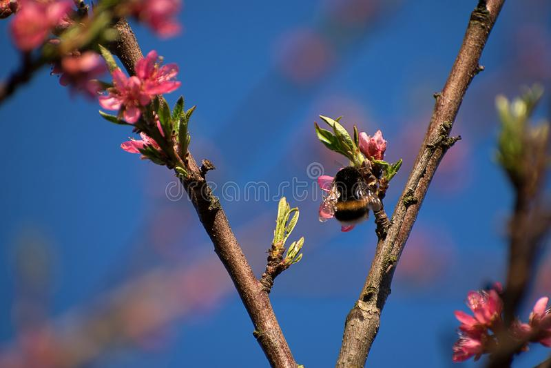 De hommel bestuift perzikboombloemen De bloesems van de perzik in de lente Blauwe hemel royalty-vrije stock afbeeldingen