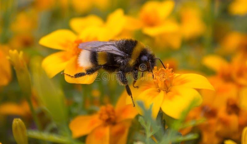 De hommel verzamelt nectar van een gele bloem Hommel op een bloem Klein insect royalty-vrije stock afbeeldingen