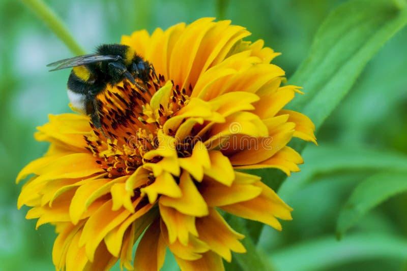 De hommel verzamelt stuifmeel op een gele bloem stock afbeeldingen