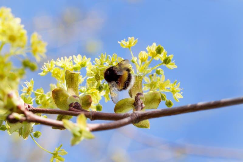 De hommel verzamelt stuifmeel van een twijg van tot bloei komende esdoorn Schoonheid in aard stock foto