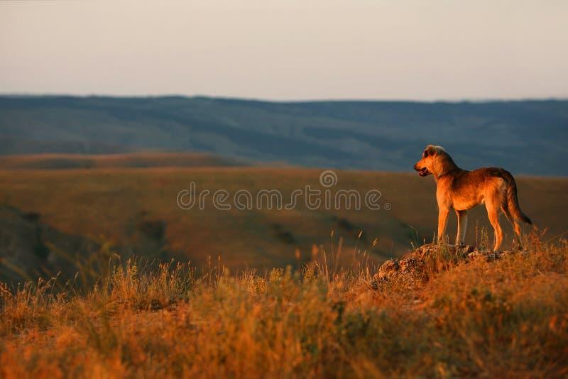 De hond bekijkt de zonsondergang royalty-vrije stock afbeelding
