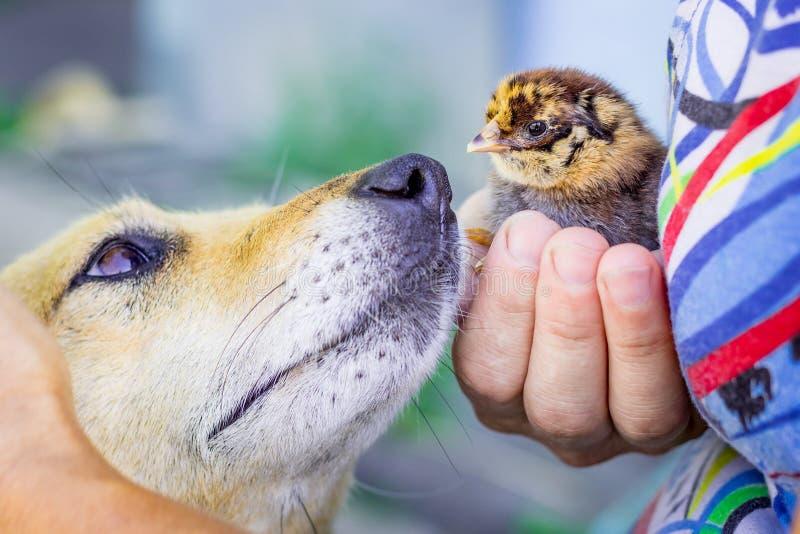 De hond bekijkt de kleine kip die de vrouw in haar hands_ houdt stock afbeeldingen
