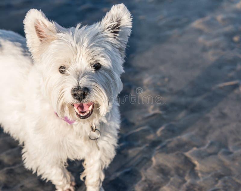 De Hond Dichte Omhooggaand van Terrier van het het westenhoogland Witte royalty-vrije stock afbeeldingen