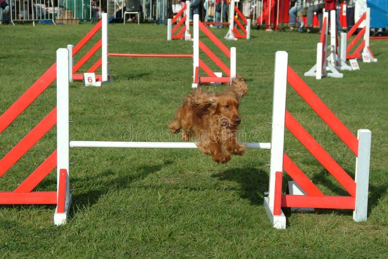 De hond die in de concurrentie springt toont royalty-vrije stock afbeelding