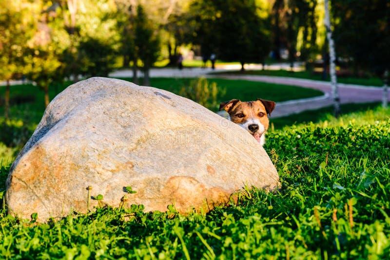 De hond die over hoek het spelen huid gluren - en - zoekt spel bij park stock afbeeldingen
