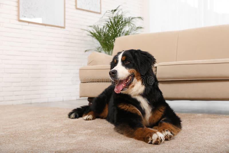De hond die van de Berneseberg op tapijt liggen stock afbeelding
