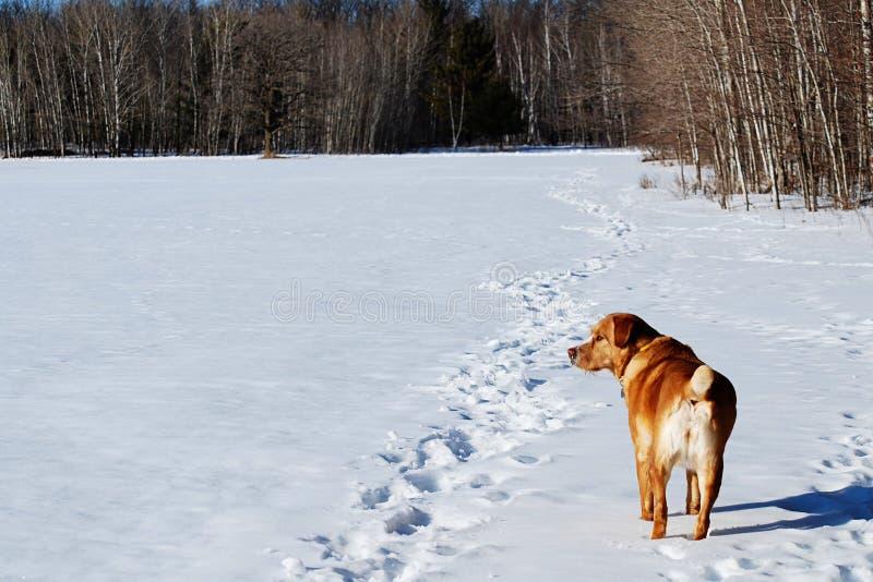 De hond die van de beschermer het sneeuwgebied onderzoekt stock foto's