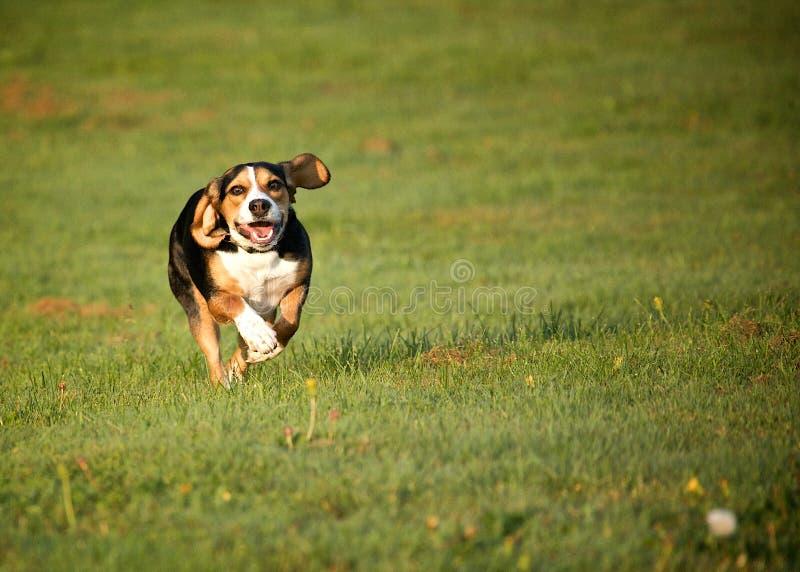 De hond die van de brak op gebied loopt stock afbeelding