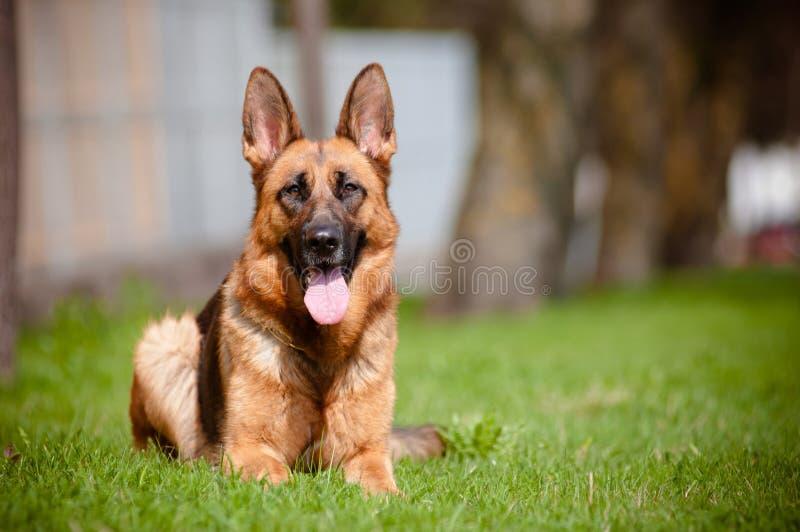 De hond die van de Duitse herder op gras ligt royalty-vrije stock afbeelding