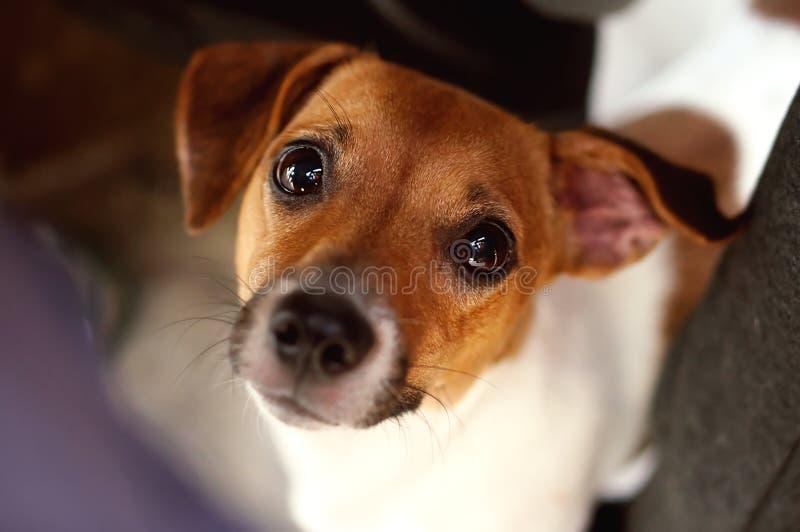 de hond die van de hefboom russel terriër recht kijken stock fotografie