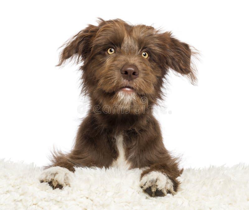 De hond die van de kruising bij wit bont en het kijken ligt stock afbeeldingen