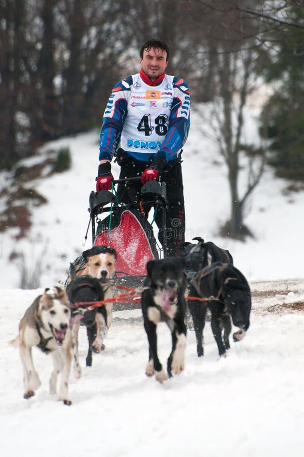De Hond die van de slee, Donovaly, Slowakije rent royalty-vrije stock foto