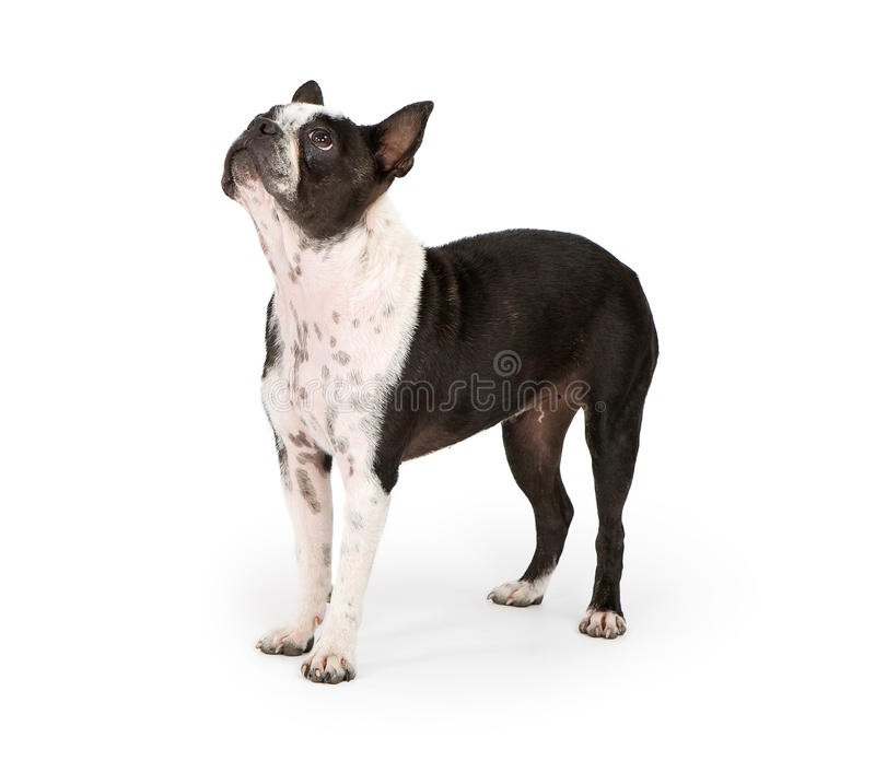 De Hond die van de Terriër van Boston omhoog eruit ziet royalty-vrije stock foto's