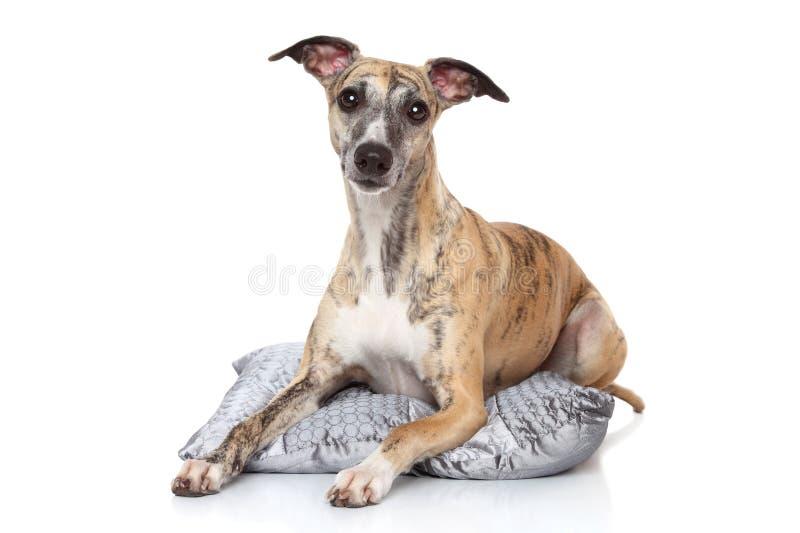 De hond die van de whippet op hoofdkussen ligt royalty-vrije stock fotografie