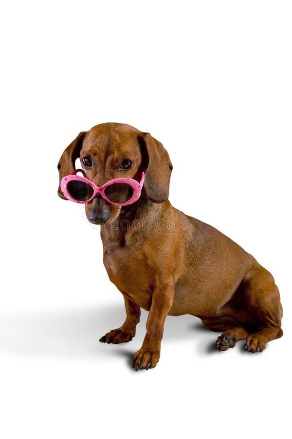 De hond die van Doxie roze zonnebril draagt stock afbeelding