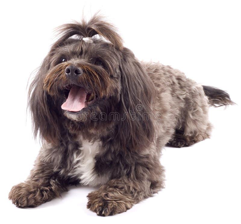 De hond die van Havanese zich met open mond bevindt stock foto