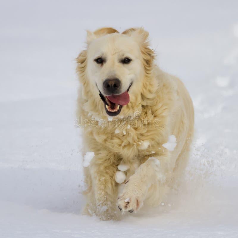 De hond die van het golden retriever in de sneeuw lopen stock fotografie